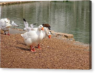 Strolling Geese Canvas Print by Bob Gross