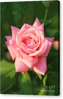 Sweet Pink Rose Canvas Print by Carol Groenen