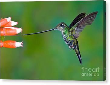 Sword-billed Hummingbird Canvas Print by Anthony Mercieca