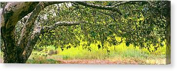 Sycamore Tree In Mustard Field Canvas Print by Panoramic Images
