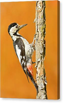 Syrian Woodpecker (dendrocopos Syriacus) Canvas Print by Photostock-israel