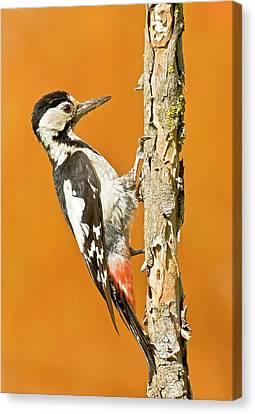Syrian Woodpecker (dendrocopos Syriacus) Canvas Print by Photostock-israel