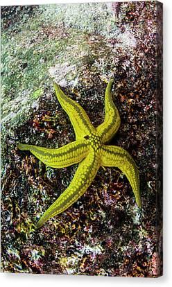 Tan Sea Star (phataria Unifascialis Canvas Print by Pete Oxford