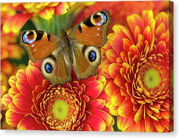 The European Peacock Butterfly, Inachis Canvas Print by Darrell Gulin