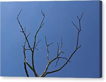 The Lightning Tree Canvas Print by David Pyatt