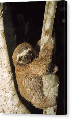 Three-toed Sloth Canvas Print by M. Watson