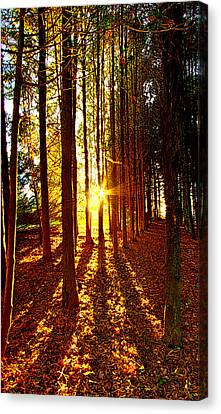 Through The Pines Canvas Print by Phil Koch