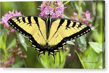 Canvas Print featuring the photograph Tiger Swallowtail Butterfly On Milkweed Flowers by A Gurmankin