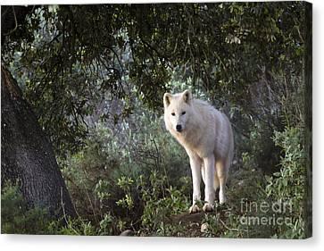 Timber Wolf Canvas Print by Angel  Tarantella
