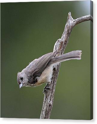 Tufted Titmouse Canvas Print by Todd Hostetter