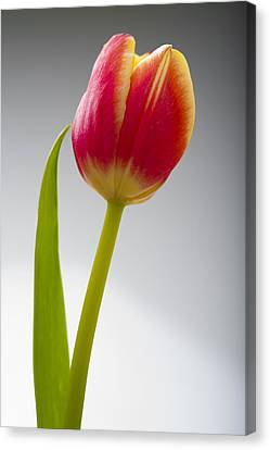Tulip Canvas Print by Sebastian Musial