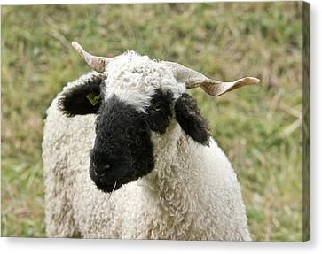 Valais Blacknose Sheep Grazing Canvas Print by Bob Gibbons