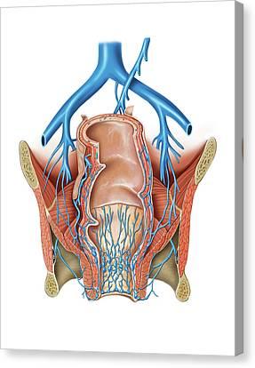 Venous System Of The Pelvis Canvas Print by Asklepios Medical Atlas
