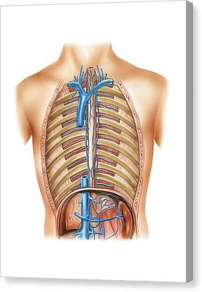 Venous System Of The Torso Canvas Print by Asklepios Medical Atlas