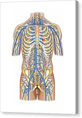 Venous System Of The Trunk Canvas Print by Asklepios Medical Atlas