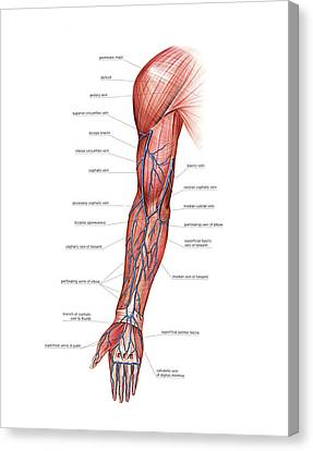 Venous System Of The Upper Limb Canvas Print by Asklepios Medical Atlas