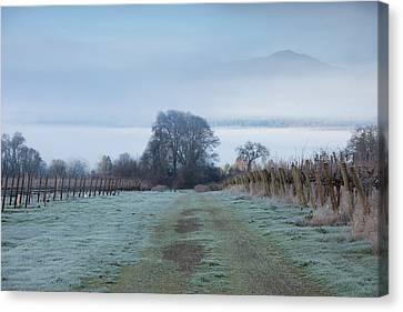 Vineyard In Winter During Fog, Ukiah Canvas Print by Panoramic Images