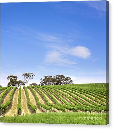 Vineyard South Australia Square Canvas Print by Colin and Linda McKie
