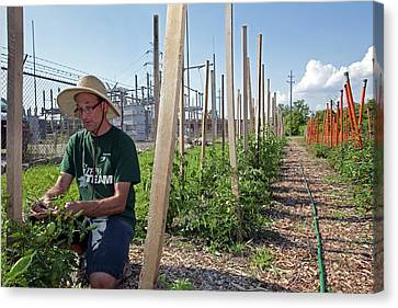 Volunteer In A Community Garden Canvas Print by Jim West