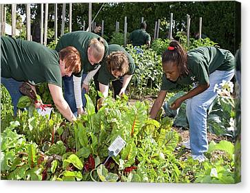 Volunteers In A Community Garden Canvas Print by Jim West