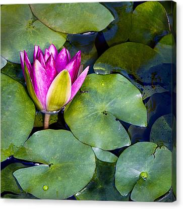 Water Lily Canvas Print by Barbara Smith
