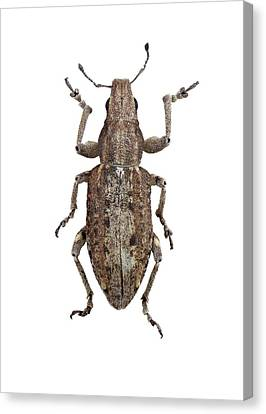 Weevil Canvas Print by F. Martinez Clavel