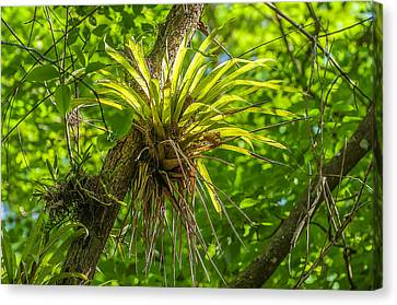 West Indian Tufted Airplants Canvas Print by Rich Leighton
