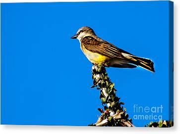 Western Kingbird Canvas Print by Robert Bales