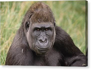 Western Lowland Gorilla Young Male Canvas Print by Gerry Ellis