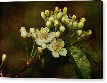 White Blossoms Canvas Print by Cindi Ressler