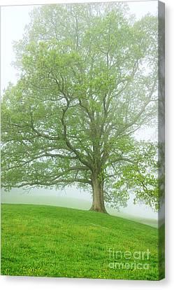 White Oak Tree In Fog Canvas Print by Thomas R Fletcher