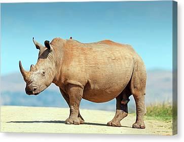 White Rhino Canvas Print by Bildagentur-online/mcphoto-schaef