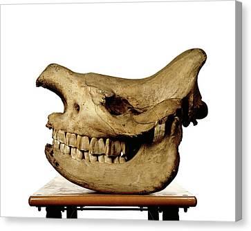 White Rhinoceros Skull Canvas Print by Ucl, Grant Museum Of Zoology