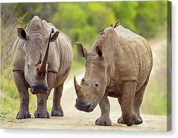 White Rhinos Canvas Print by Bildagentur-online/mcphoto-schaef