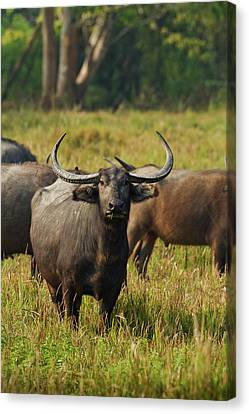 Wild Buffalo In The Grassland Canvas Print by Jagdeep Rajput