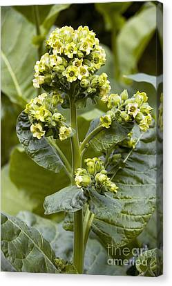 Wild Tobacco Nicotiana Rustica Flowers Canvas Print by Bob Gibbons