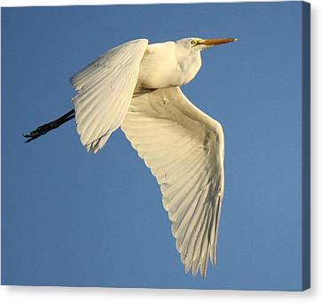 Wing Down Canvas Print by Paulette Thomas