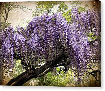 Wisteria In Bloom Canvas Print by Jessica Jenney