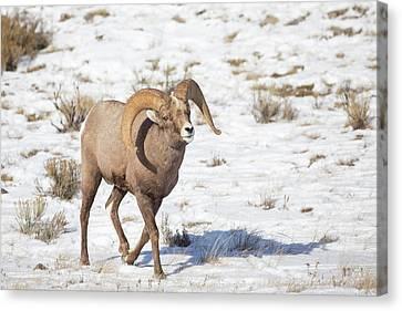 Wyoming, National Elk Refuge, Bighorn Canvas Print by Elizabeth Boehm