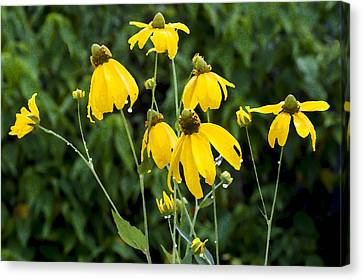 Yellow Cone Flowers Rudbeckia Canvas Print by Rich Franco