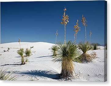 Yucca (yucca Elata) Plants Canvas Print by Jim West