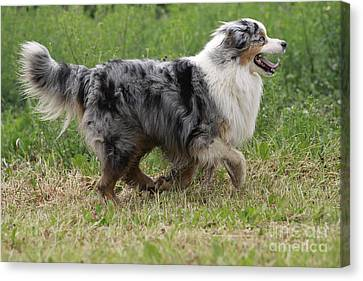 Australian Shepherd Dog Canvas Print by Jean-Michel Labat