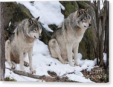 Timber Wolves Canvas Print by Wolves Only