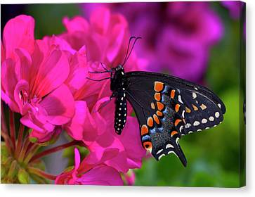 Black Swallowtail Butterfly, Papilio Canvas Print by Darrell Gulin