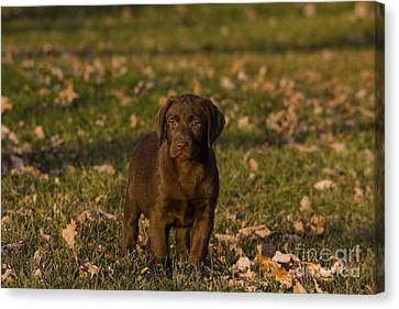 Chocolate Labrador Retriever Canvas Print by Linda Freshwaters Arndt