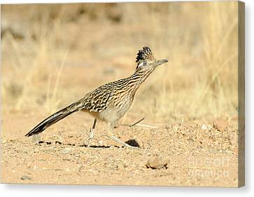 Greater Roadrunner Canvas Print by Scott Linstead