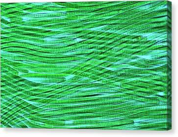 Oscillatoria Cyanobacteria Canvas Print by Marek Mis