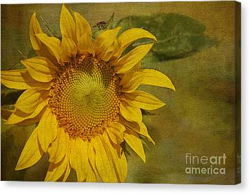 Sunflower Canvas Print by Cindi Ressler