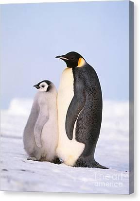 Emperor Penguin Aptenodytes Forsteri Canvas Print by Hans Reinhard