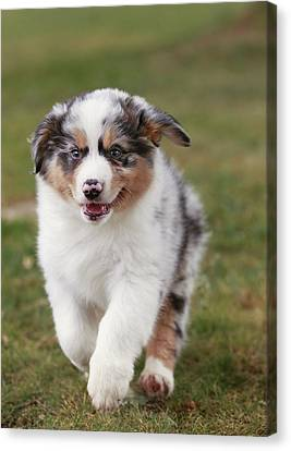 Australian Shepherd Puppy Canvas Print by Jean-Michel Labat